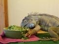 Leguan guten Appetit | mobile Tierbetreuung Mössingen